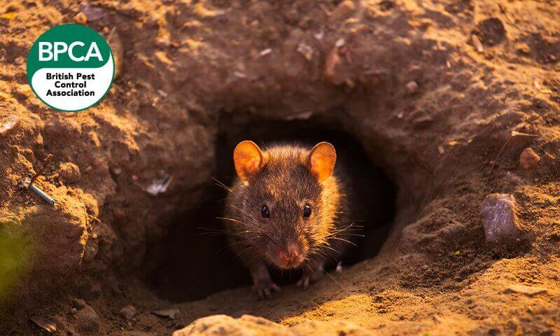 Rodent surfacing from its burrow