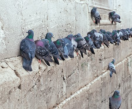 bird-control-pigeons-on-building-ledge-owl-pest-control-dublin