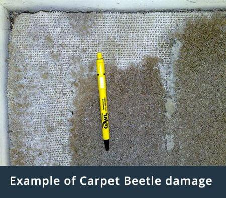 example-carpet-beetle-damage-owl-pest-control-dublin