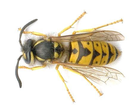 pest-guide-wasps-control 2 Owl Pest control Dublin