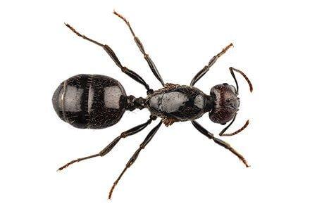 Black ant close up