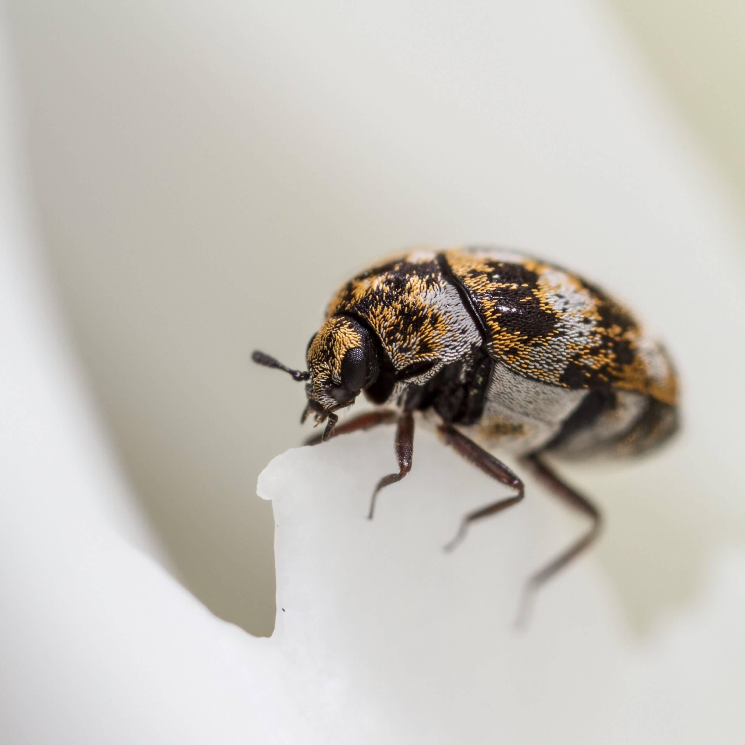 pest-guide-carpet-beetle-1 Owl pest control Ireland