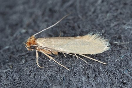 Moth - Owl pest control Dublin