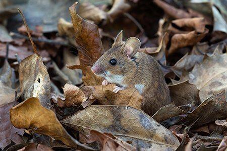 pest-guide-mice-2-Owl Pest Control Ireland