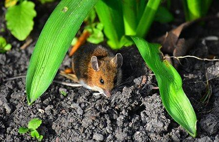 pest-guide-mice-1-Owl Pest Control Ireland