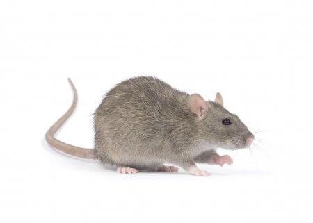 pest-guide-rat-3-Owl Pest Control Ireland