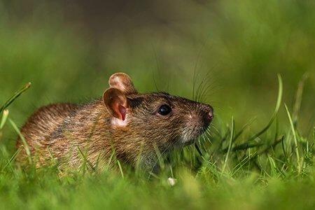 pest-guide-rat-4-Owl Pest Control Ireland