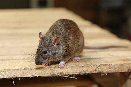 pest-guide-rat-1-Owl Pest Control Ireland