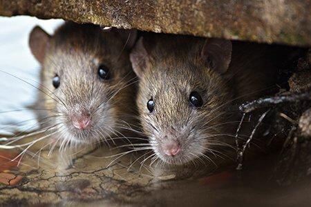 pest-guide-rat-2-Owl Pest Control Ireland