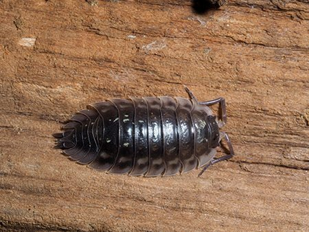 pest-guide-woodlice-01