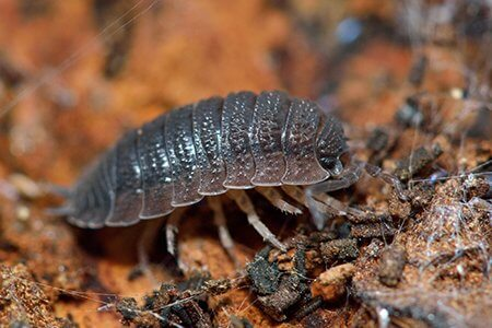 pest-guide-woodlice-02