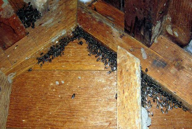 Cluster Flies in attic
