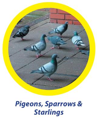 pigeons-sparrows-starlings - Owl Pest Control Dublin