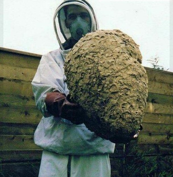 A large wasp nest removed from an attic