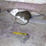 Dead rat in a pub basement - Owl pest control Dublin
