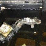 Health hazard - Dead rat in a water tank in a house - Owl pest control Dublin