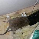 Huge rat caught in spring trap in attic - Owl pest control Dublin