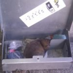 Rat died in bait box after eating poison - Owl pest control Dublin