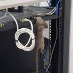Rat in server room - Owl pest control Dublin